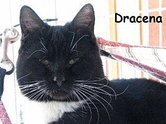 Domestic Shorthair Kitten for adoption in Polson, Montana - Dracena