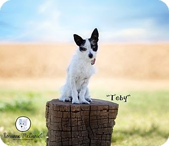 Terrier (Unknown Type, Medium) Mix Dog for adoption in Lubbock, Texas - Toby