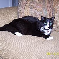 Domestic Mediumhair Cat for adoption in Huntington Beach, California - B  J