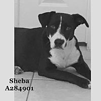 Adopt A Pet :: SHEBA - Conroe, TX