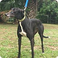 Adopt A Pet :: Nuff Nuff - West Palm Beach, FL