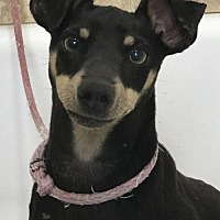 Adopt A Pet :: Theo - Costa Mesa, CA