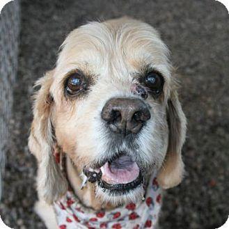 Cocker Spaniel Mix Dog for adoption in Norfolk, Virginia - Misty