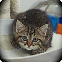 Adopt A Pet :: Chiffon - Englewood, FL