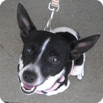 Rat Terrier Mix Dog for adoption in Ashland, Virginia - Dooney-ADOPTED!!!
