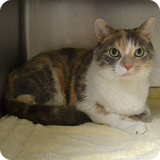 Domestic Shorthair Cat for adoption in Wheaton, Illinois - Hummus