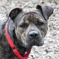 Adopt A Pet :: Santiago - Stroudsburg, PA