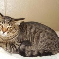Adopt A Pet :: Tiger - Jackson, MI