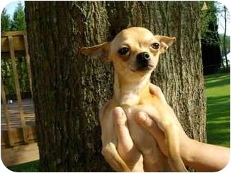 Chihuahua Dog for adoption in Charleston, South Carolina - Armani