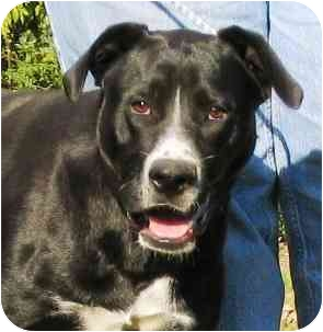 Greater Swiss Mountain Dog Mix Dog for adoption in Portsmouth, Rhode Island - Donald