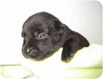 Labrador Retriever Mix Puppy for adoption in San Diego, California - PUPPY ALEX
