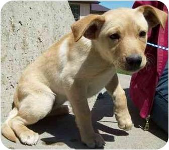 Golden Retriever/Labrador Retriever Mix Puppy for adoption in North Judson, Indiana - SeeSaw