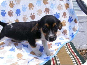 Chihuahua/Rat Terrier Mix Puppy for adoption in Rochester, New Hampshire - Tiny
