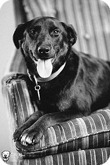 Labrador Retriever/Rottweiler Mix Dog for adoption in Portland, Oregon - Trinket