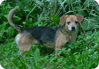 Beagle Mix Dog for adoption in Metamora, Indiana - Annie