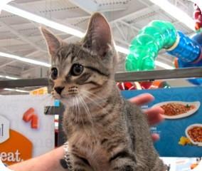 Domestic Shorthair Kitten for adoption in Warren, Michigan - Joshua