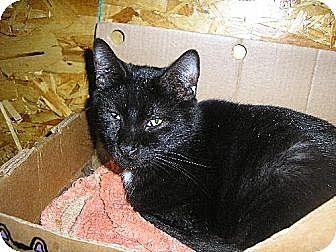Domestic Shorthair Cat for adoption in Eldora, Iowa - Patches
