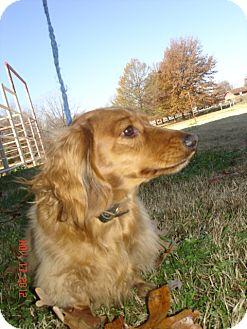 Dachshund Dog for adoption in Stilwell, Oklahoma - Rufus