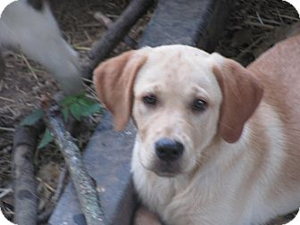 Labrador Retriever Mix Puppy for adoption in Hartford, Connecticut - Regina