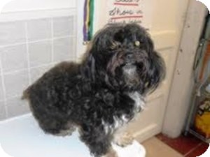 Shih Tzu/Poodle (Miniature) Mix Dog for adoption in Bartonsville, Pennsylvania - ALLY