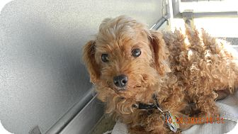 Poodle (Miniature) Mix Dog for adoption in Sandusky, Ohio - CHEWY