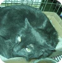 Domestic Longhair Cat for adoption in Stillwater, Oklahoma - Brock