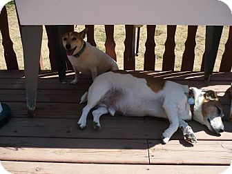 Jack Russell Terrier Dog for adoption in Wisconsin Dells, Wisconsin - Penny Rose