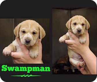 Shar Pei/Labrador Retriever Mix Puppy for adoption in Garden City, Michigan - Swampman