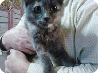 Domestic Mediumhair Cat for adoption in Vancouver, Washington - Stardust