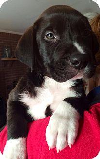 Labrador Retriever Mix Puppy for adoption in Navarre, Florida - Jedi
