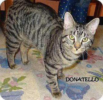 Domestic Shorthair Cat for adoption in Lapeer, Michigan - DONATELLO--STRIKING YOUNTABBY!