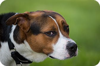 Treeing Walker Coonhound/Pit Bull Terrier Mix Dog for adoption in St. Charles, Illinois - Chopper