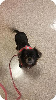 Pekingese Mix Dog for adoption in Media, Pennsylvania - Gizzy