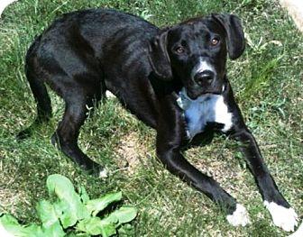 Labrador Retriever/Great Dane Mix Dog for adoption in Dover, Tennessee - SARA