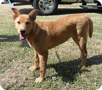 Labrador Retriever/Australian Cattle Dog Mix Dog for adoption in Grand Saline, Texas - Dave