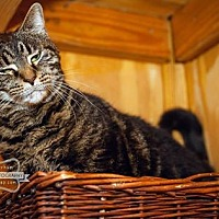 Domestic Shorthair Cat for adoption in Monterey, Virginia - Willow-adoption sponsored