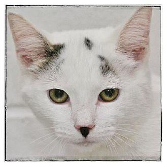 Domestic Shorthair Kitten for adoption in Salem, Massachusetts - James