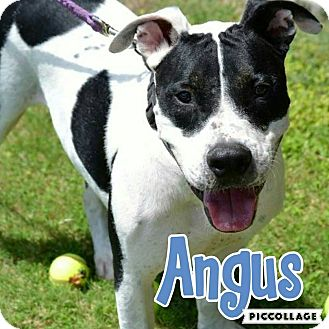 Pit Bull Terrier Mix Dog for adoption in Scottsdale, Arizona - Angus