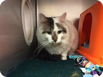 Domestic Mediumhair Cat for adoption in Janesville, Wisconsin - Quizno