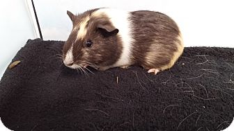 Guinea Pig for adoption in Aurora, Colorado - Julihamm