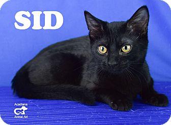 Domestic Shorthair Kitten for adoption in Carencro, Louisiana - Sid