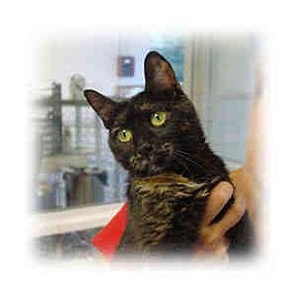 Domestic Shorthair Kitten for adoption in Huntley, Illinois - Alice