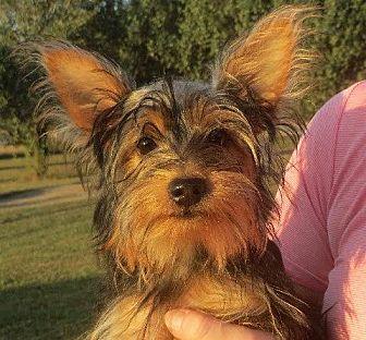 Yorkie, Yorkshire Terrier Dog for adoption in Allentown, Pennsylvania - Emma