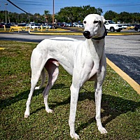 Greyhound Dog for adoption in Sarasota, Florida - Dujo's Caspar