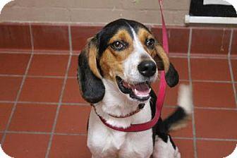 Beagle Mix Dog for adoption in Daytona Beach, Florida - Snoopy
