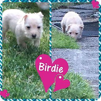 Adopt A Pet :: Birdie  - Renton, WA