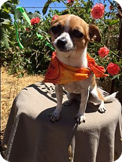 Rat Terrier/Chihuahua Mix Dog for adoption in Elk Grove, California - PAYLO