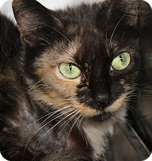 Calico Cat for adoption in Marietta, Ohio - J Baby (Spayed/Combo'd)