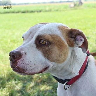 Pit Bull Terrier Dog for adoption in Troy, Illinois - Zoe