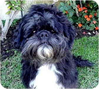 Lhasa Apso/Shih Tzu Mix Dog for adoption in Los Angeles, California - BOSCO